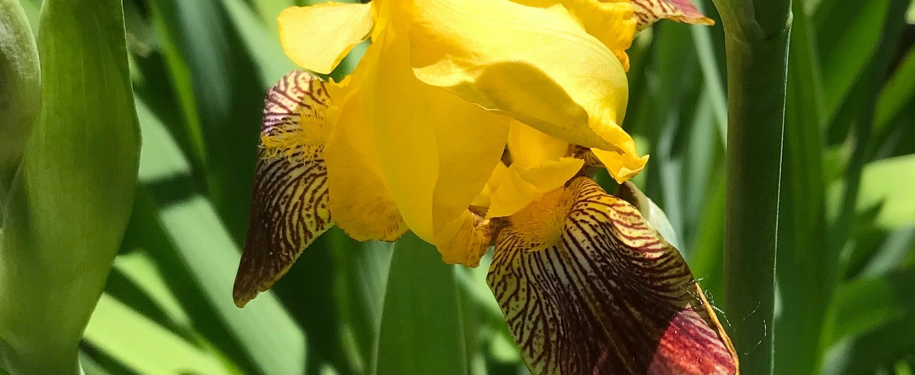 Yellow iris with maroon highilghts.
